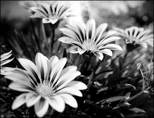 flores blanco negro