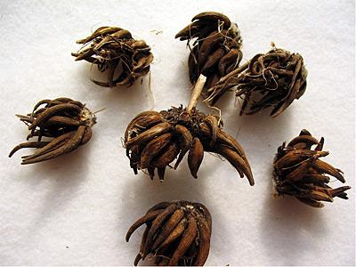raiz tuberosa