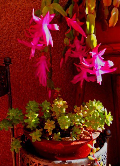 cactus navidad1