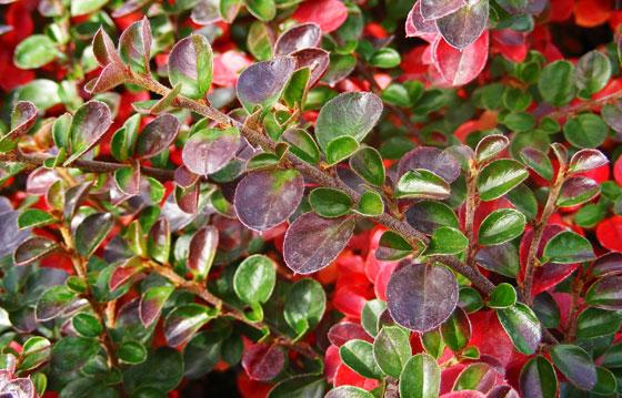 planta cotoneaster horizontalis