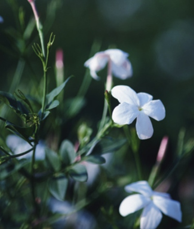 planta jazmin