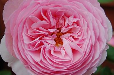 rosal antiguo