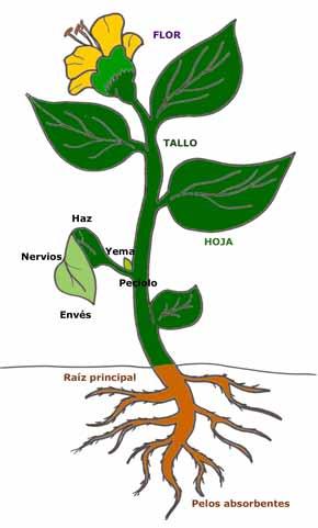 planta frijol