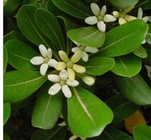Especies de arbustos para tu jard n ideas para jardines for Arbustos con flores para jardin