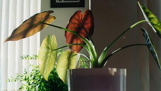 planta wentii