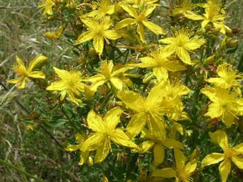 flor san juan