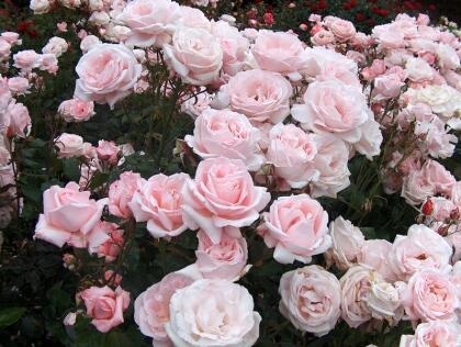 rosal2