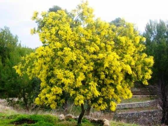 Cuidados de la Mimosa - Cuida tu jardín
