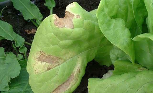 plagas enfermedades plantas