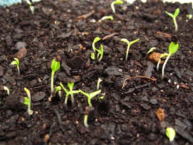 plantar claveles