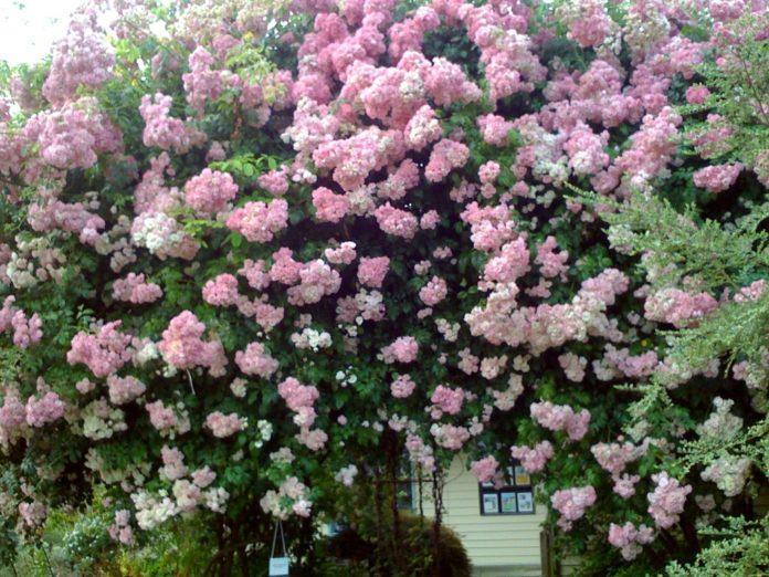 rosales trepadores 1024x768