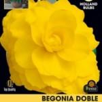 Bulbo Begonia doble amarilla