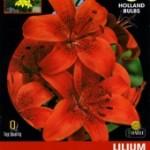 Bulbo Lilium rojo