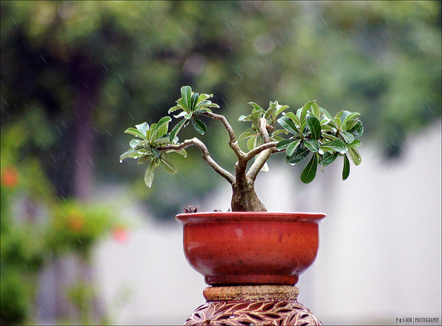 C mo cuidar un bons is ideas para jardines y decoraci n - Como cuidar un bonsai ...