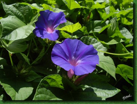 campanilla-flor.jpg
