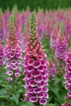 digitalis-purpurea.jpg