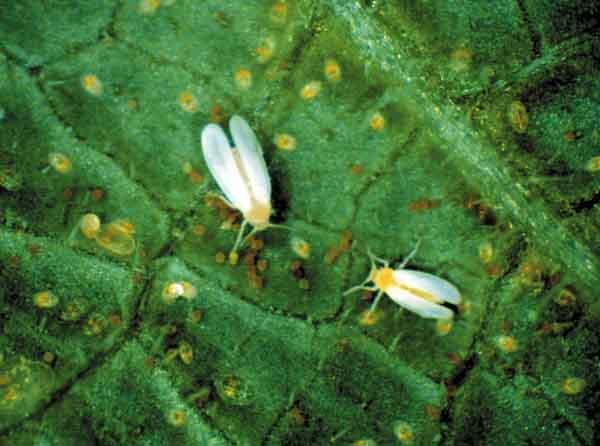 moscas blancas