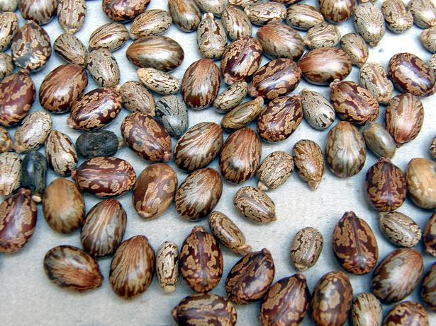 semillas ricino