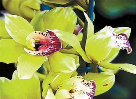 Orquídea Shenzhen Nongke(1)