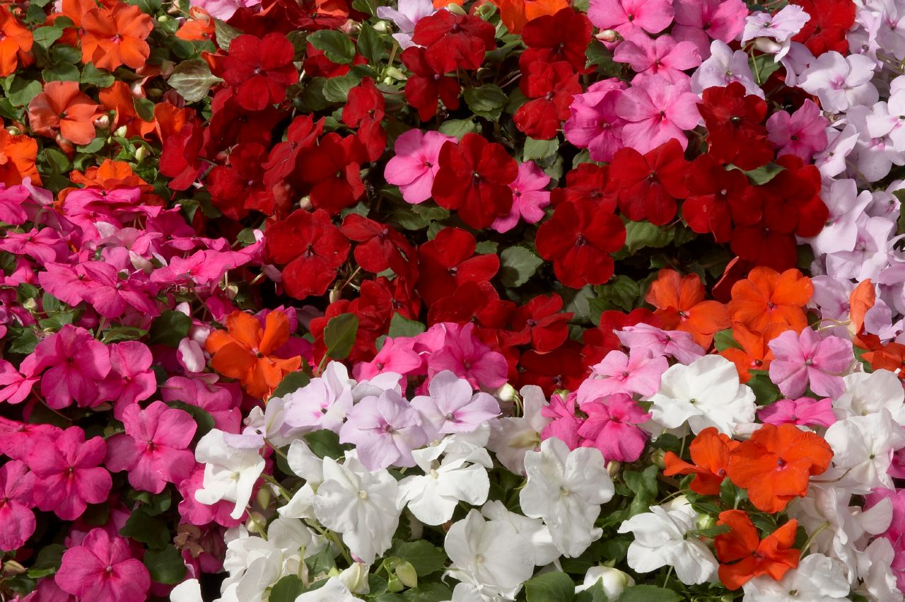 Flor alegria de la casa ideas para jardines y decoraci n - Planta alegria de la casa ...