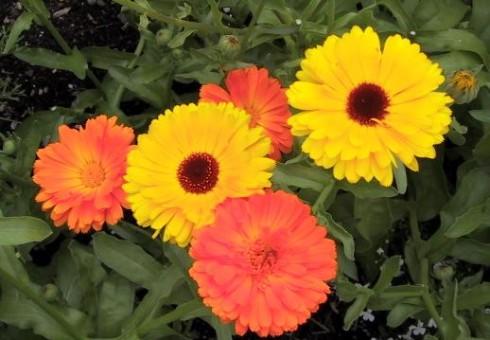 flores-calendula.com
