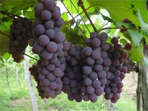 uvas jardin1