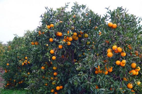 citricos e1371585556690