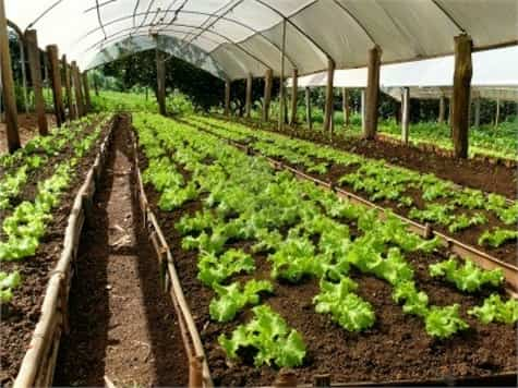 cultivo lechuga