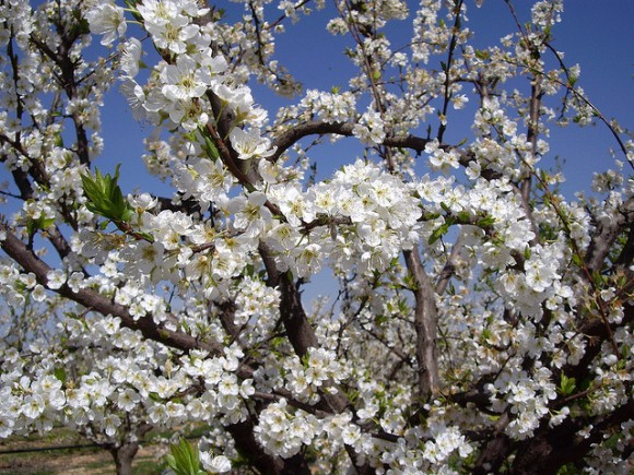 Arboles frutales en flor