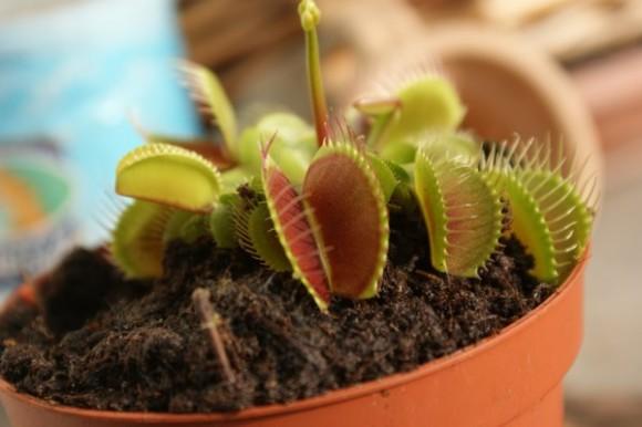 planta carnivora e1372354233253