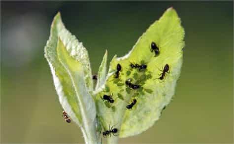trucos eliminar hormigas