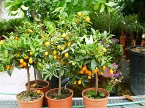 arboles frutales macetas