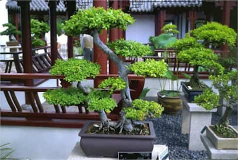 bonsai ubicacion