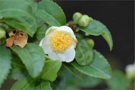 camellia sinensis1