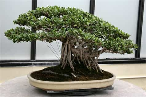 maceta bonsai