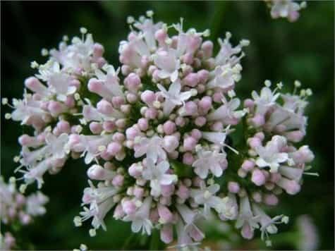 Plantas medicinales insomnio1