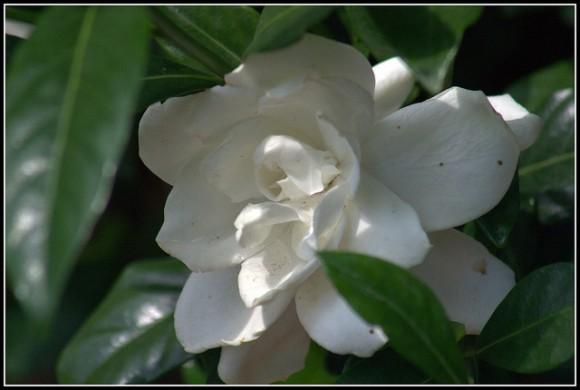 Imagen de una gardenia