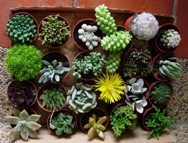 Cactus peque os ideas para jardines y decoraci n - Como transplantar cactus ...