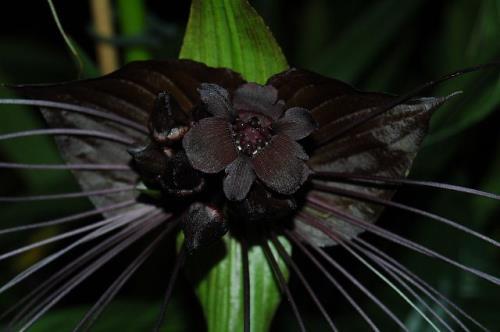 Flor murciélago