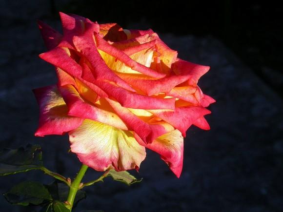 Consejos para plantar esquejes de rosas durante el otoño