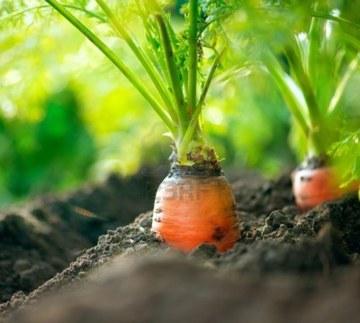 Consejos para plantar zanahorias