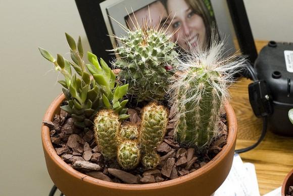 Consejos para comprar cactus