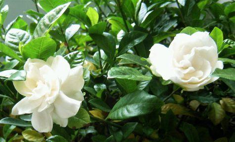 gardenias2