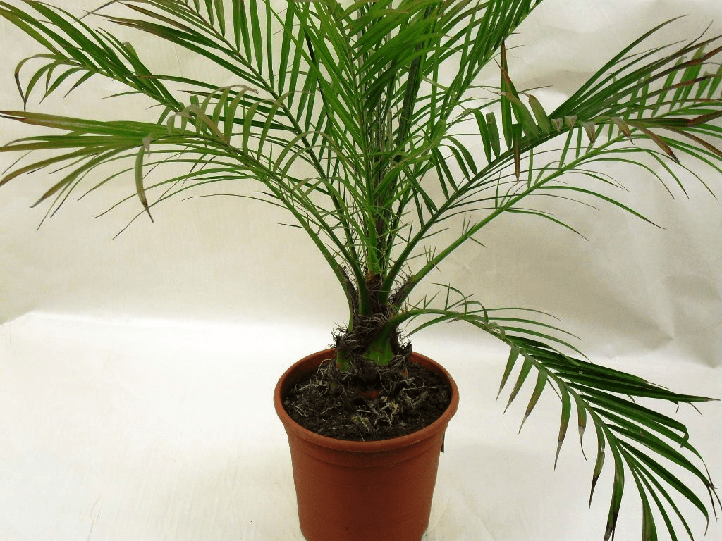 Ficus de interior
