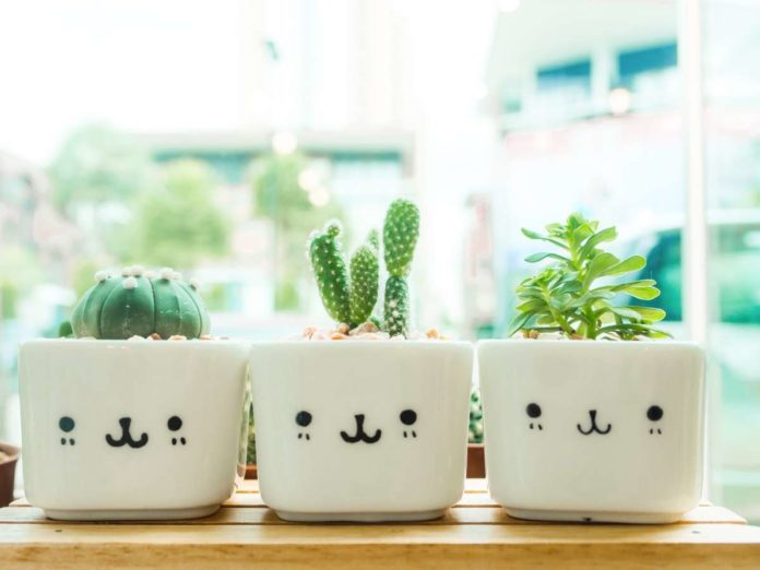 cactus de interior