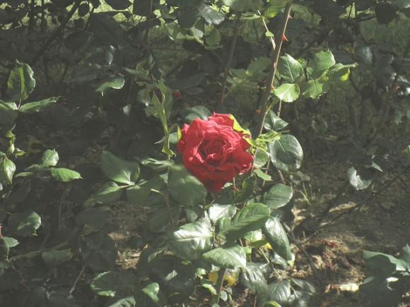 Regar los rosales