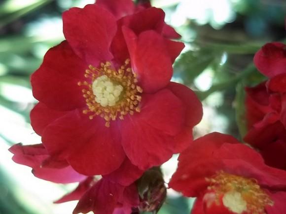 Riego de los rosales