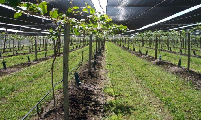 Cultivar kiwis