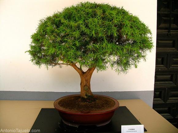 Parásitos que atacan a los bonsai