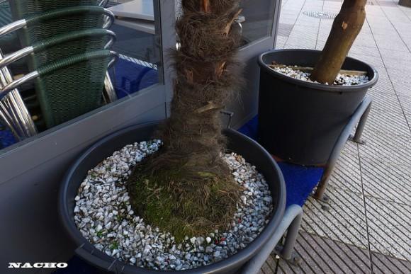 Cultivar palmeras en el interior